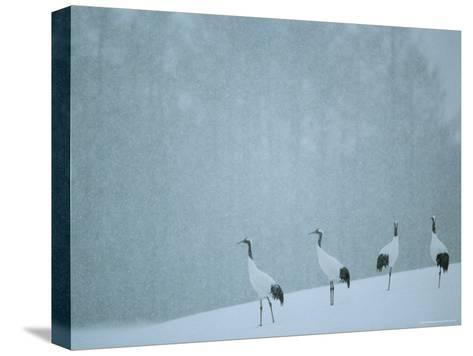 Japanese or Red-Crowned Cranes at the Tsiurui-Ito Crane Sancturary-Tim Laman-Stretched Canvas Print