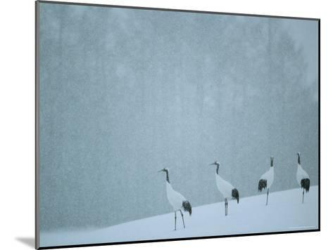 Japanese or Red-Crowned Cranes at the Tsiurui-Ito Crane Sancturary-Tim Laman-Mounted Photographic Print