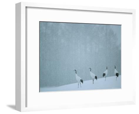 Japanese or Red-Crowned Cranes at the Tsiurui-Ito Crane Sancturary-Tim Laman-Framed Art Print