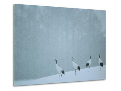 Japanese or Red-Crowned Cranes at the Tsiurui-Ito Crane Sancturary-Tim Laman-Metal Print