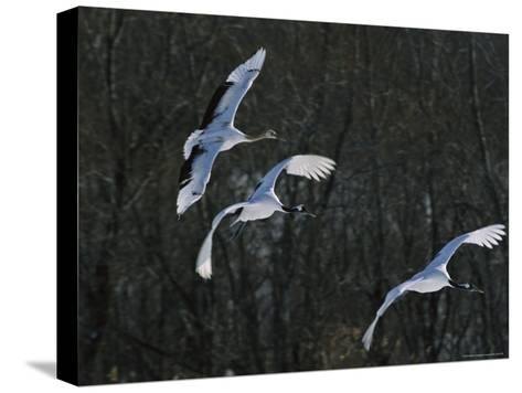 A Trio of Japanese or Red-Crowned Cranes Coming in for a Landing-Tim Laman-Stretched Canvas Print