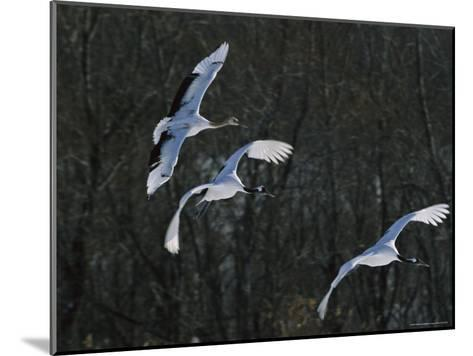 A Trio of Japanese or Red-Crowned Cranes Coming in for a Landing-Tim Laman-Mounted Photographic Print