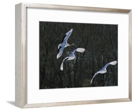 A Trio of Japanese or Red-Crowned Cranes Coming in for a Landing-Tim Laman-Framed Art Print