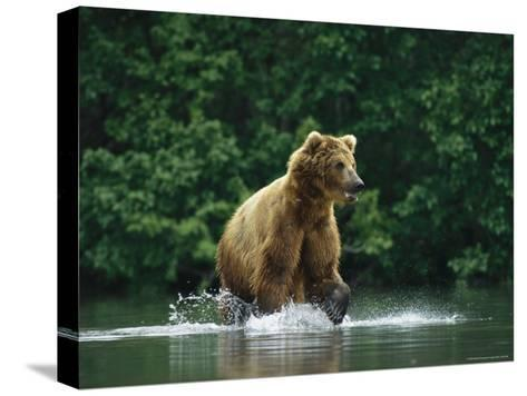 A Brown Bear Splashing in Water as it Hunts Salmon-Klaus Nigge-Stretched Canvas Print