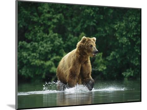 A Brown Bear Splashing in Water as it Hunts Salmon-Klaus Nigge-Mounted Photographic Print
