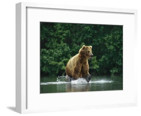 A Brown Bear Splashing in Water as it Hunts Salmon-Klaus Nigge-Framed Art Print