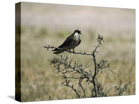 A Juvenile Hobby Perches on a Branch, Falco Subbuteo-Klaus Nigge-Stretched Canvas Print