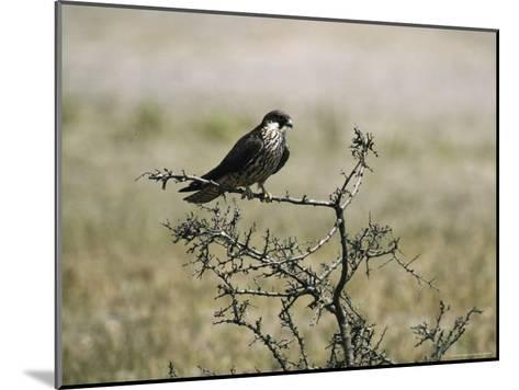 A Juvenile Hobby Perches on a Branch, Falco Subbuteo-Klaus Nigge-Mounted Photographic Print