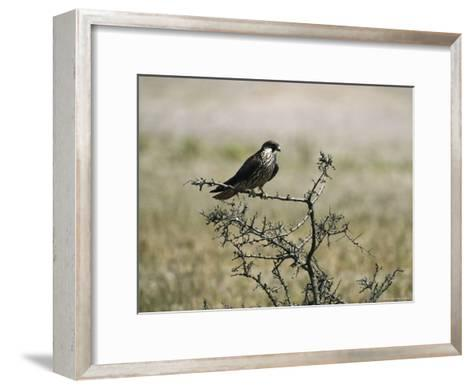 A Juvenile Hobby Perches on a Branch, Falco Subbuteo-Klaus Nigge-Framed Art Print