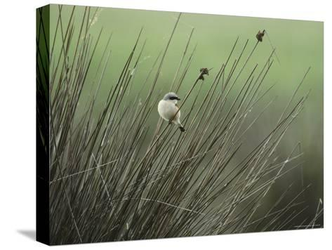 A Red-Backed Shrike Perches on Field Grass-Klaus Nigge-Stretched Canvas Print