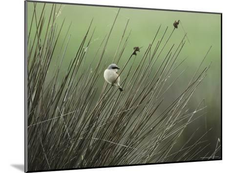 A Red-Backed Shrike Perches on Field Grass-Klaus Nigge-Mounted Photographic Print