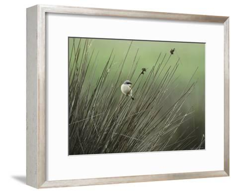 A Red-Backed Shrike Perches on Field Grass-Klaus Nigge-Framed Art Print