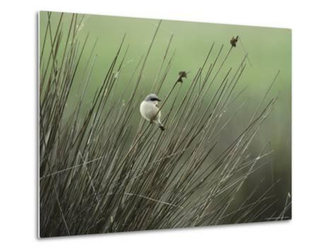A Red-Backed Shrike Perches on Field Grass-Klaus Nigge-Metal Print