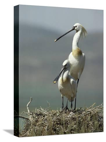 A Pair of White Spoonbill Birds Sit in Their Nest-Klaus Nigge-Stretched Canvas Print