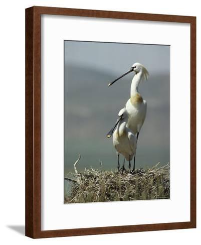 A Pair of White Spoonbill Birds Sit in Their Nest-Klaus Nigge-Framed Art Print