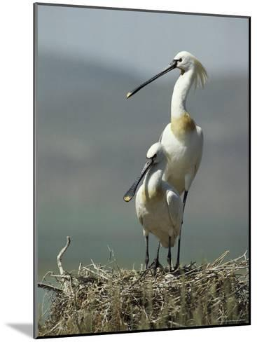 A Pair of White Spoonbill Birds Sit in Their Nest-Klaus Nigge-Mounted Photographic Print