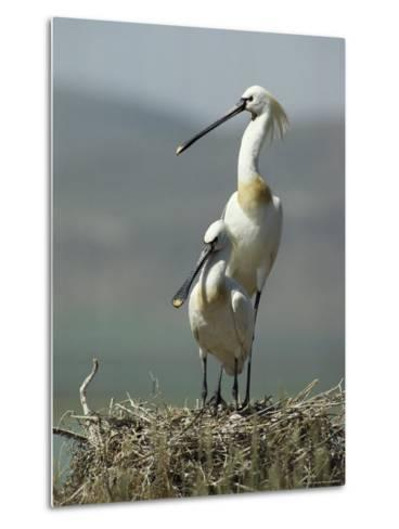 A Pair of White Spoonbill Birds Sit in Their Nest-Klaus Nigge-Metal Print