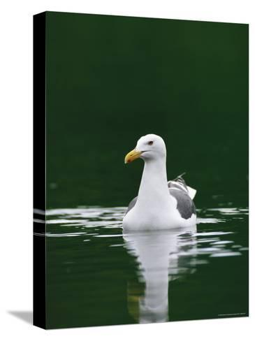 A Seagull Floating Serenely in Calm Water-Klaus Nigge-Stretched Canvas Print