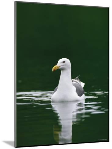 A Seagull Floating Serenely in Calm Water-Klaus Nigge-Mounted Photographic Print