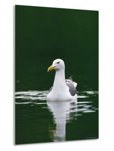 A Seagull Floating Serenely in Calm Water-Klaus Nigge-Metal Print