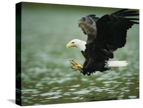 An American Bald Eagle Lunges Toward its Prey Below the Water-Klaus Nigge-Stretched Canvas Print