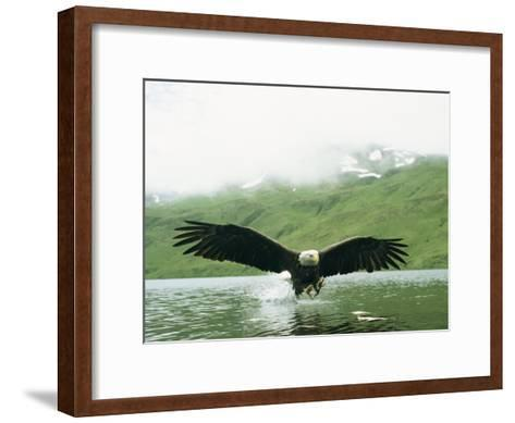 An American Bald Eagle Lunges Toward its Prey Below the Water-Klaus Nigge-Framed Art Print