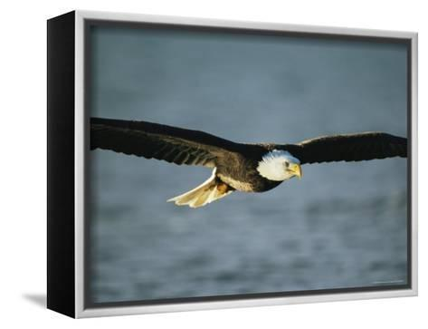 An American Bald Eagle in Flight--Framed Canvas Print
