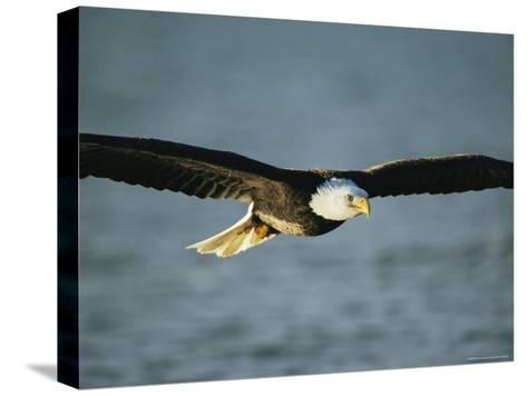 An American Bald Eagle in Flight--Stretched Canvas Print