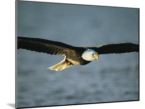 An American Bald Eagle in Flight--Mounted Photographic Print