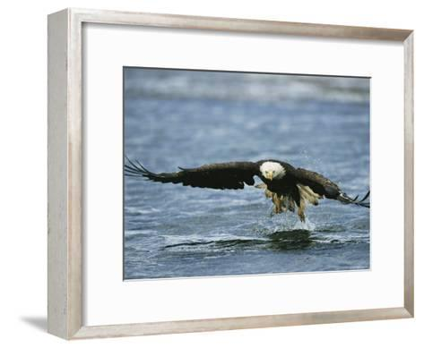 An American Bald Eagle Lunges Toward its Prey Below the Water--Framed Art Print