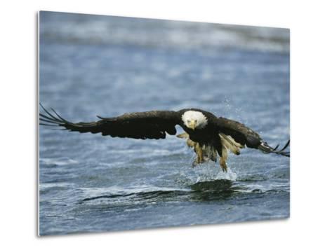 An American Bald Eagle Lunges Toward its Prey Below the Water--Metal Print
