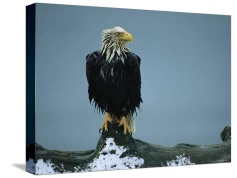 A Wet American Bald Eagle Perches on a Tree Branch-Klaus Nigge-Stretched Canvas Print