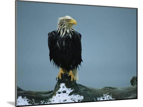 A Wet American Bald Eagle Perches on a Tree Branch-Klaus Nigge-Mounted Photographic Print