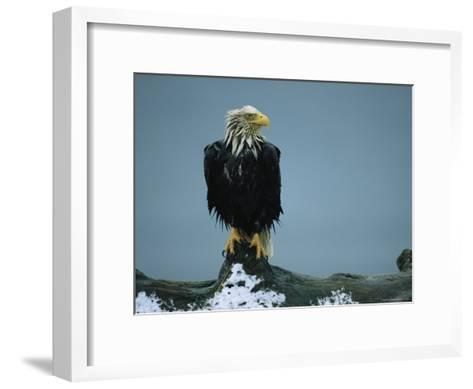 A Wet American Bald Eagle Perches on a Tree Branch-Klaus Nigge-Framed Art Print