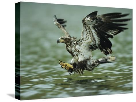 A Juvenile American Bald Eagle in Flight over Water Hunting for Fish-Klaus Nigge-Stretched Canvas Print