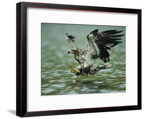 A Juvenile American Bald Eagle in Flight over Water Hunting for Fish-Klaus Nigge-Framed Art Print