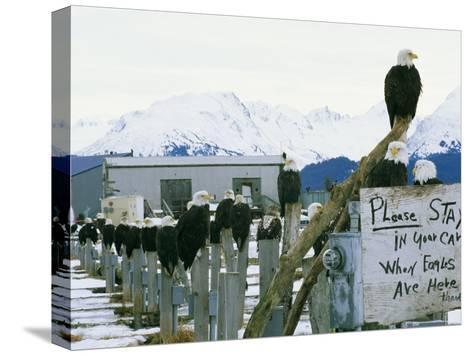 A Group of American Bald Eagles Perch on Posts-Klaus Nigge-Stretched Canvas Print