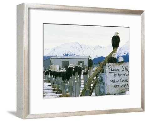 A Group of American Bald Eagles Perch on Posts-Klaus Nigge-Framed Art Print