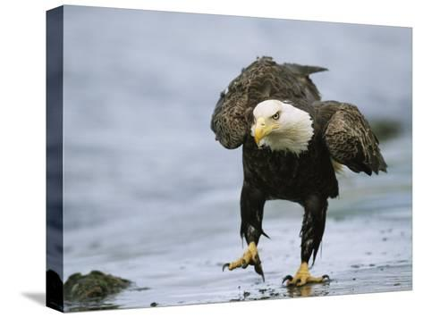 An American Bald Eagle Walks Intently Toward its Prey-Klaus Nigge-Stretched Canvas Print