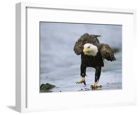 An American Bald Eagle Walks Intently Toward its Prey-Klaus Nigge-Framed Art Print