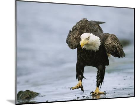 An American Bald Eagle Walks Intently Toward its Prey-Klaus Nigge-Mounted Photographic Print