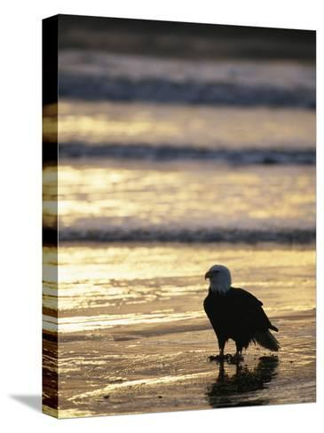 An American Bald Eagle Stands on the Shoreline-Klaus Nigge-Stretched Canvas Print