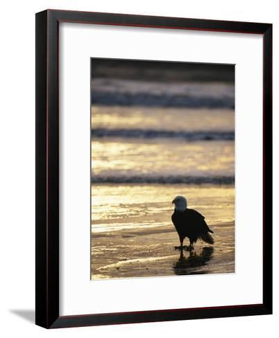 An American Bald Eagle Stands on the Shoreline-Klaus Nigge-Framed Art Print