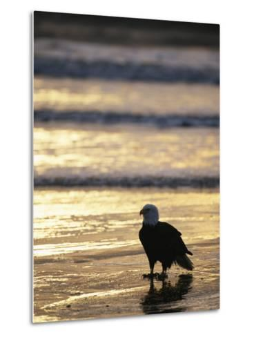An American Bald Eagle Stands on the Shoreline-Klaus Nigge-Metal Print