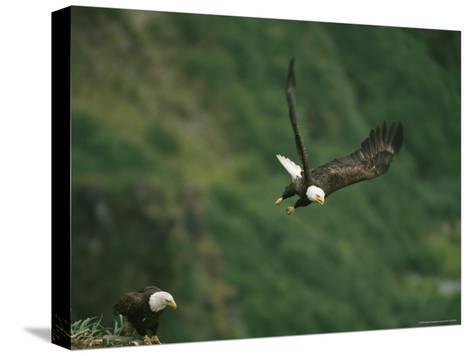An American Bald Eagle Soars Near its Nest-Klaus Nigge-Stretched Canvas Print