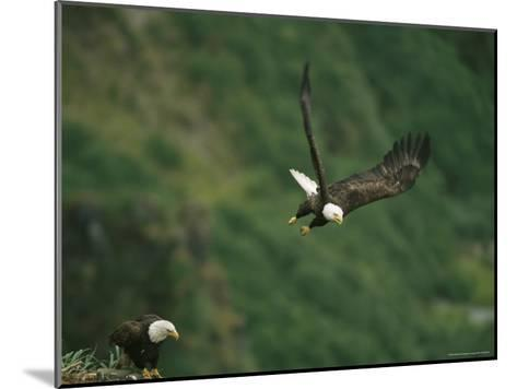An American Bald Eagle Soars Near its Nest-Klaus Nigge-Mounted Photographic Print