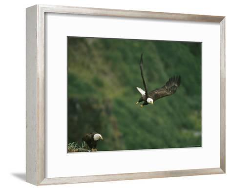 An American Bald Eagle Soars Near its Nest-Klaus Nigge-Framed Art Print