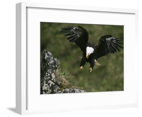 An American Bald Eagle Soars Near its Nest-Klaus Nigge-Framed Art Print