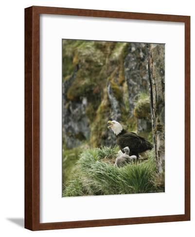 An American Bald Eagle and Chicks in Their Clifftop Nest-Klaus Nigge-Framed Art Print