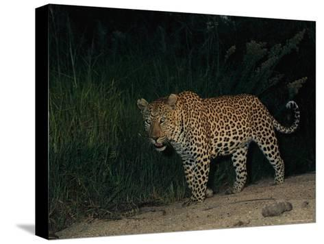 Male Leopard on Patrol at Night-Kim Wolhuter-Stretched Canvas Print